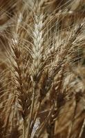 bwheat